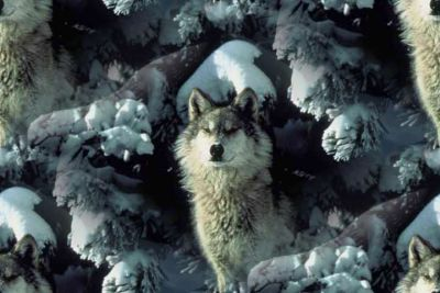Wolf in the snow background